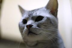 a gray cat