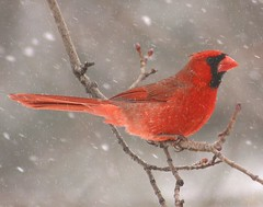 It's snowing on me again! (nature55) Tags: red snow germantown nature birds tag3 ilovenature outdoors tag2 tag1 cardinal wildlife aves magicdonkey germantownwisconsin 460explorepages