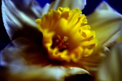 daffodil (Emily Quinton) Tags: flowers blue macro yellow tag3 taggedout spring tag2 tag1 daffodil greenfusephotography