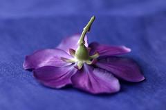 Underside (l&coolj) Tags: flower ilovenature petals topv333 purple taos delicate 30d 50mmf18 85points