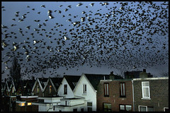 Starling Infestation [1] - 7191.jpg (Edgar Thissen) Tags: bird birds animal night nightshot flock starling infestation ultimatesurvivor itsongcanoneos20d itsonginvite pgphotography edgarthissen birdsantics megashotbirds megashot