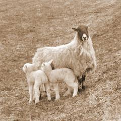 (ANDI2..) Tags: uk tag3 taggedout sepia tag2 tag1 sheep cumbria millfield specnature