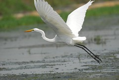 大白鷺飛羽 Great Egret - by Changhua Coast Conservation Action