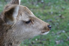 What? (R26B) Tags: green japan japanese minolta 7 deer 7d ear u1  nippon alpha  jpn maxxum konicaminolta     7d  r26b