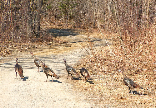 Wild Turkeys!