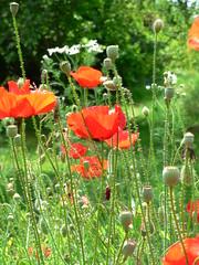 Mohnwiese, grasland with poopy seed (marokus) Tags: flower rot juni sommer wiese blumen poppyseed mohn grasland