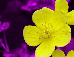 Seems like spring... (Tamara van Molken) Tags: flowers home topv111 recoloured caltha notpicked judgementday525 palustrus