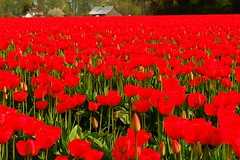 Drowning in red. (tollen) Tags: flowers red flower barn ilovenature washington tulips vibrant tulip skagit redflowers gtaggroup vibrantred