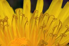 dandelion! (*Hairbear) Tags: flower macro yellow canon 50mm 300d close dandelion stamen canon50mmf18 f18 kenko kenkoextension
