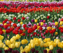 The Most Beautiful Tulips... (jodi_tripp) Tags: tag3 taggedout woodland colorful tag2 tag1 500v20f tulips 2006 mostinteresting wa artshow creamofthecrop allrightsreserved 1on1 thecontinuum saywa lovephotography twtme gtaggroup joditripp wwwjoditrippcom photographybyjodtripp joditrippcom