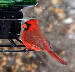 cardinal snow05 (Mike Rodriquez) Tags: luminosity