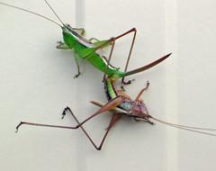 A pair of katydids - by mgjefferies