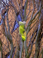 View green monkey climbing tree on Flickr