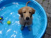 In the Pool (kotobuki711) Tags: dog pool goldenretriever puppy play explore thedoghouse