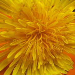 Rise..................................... (ANDI2..) Tags: flower macro love beautiful yellow tag3 taggedout lyrics weed tag2 tag1 catchycolours vibrant appreciation dandelion gabrielle bobdylan upclose