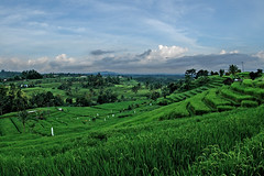 The rice fields of Jatiluwih (bocavermelha-l.b.) Tags: inthemountain 16mmf28dfisheye specland south–china–sea inindonesia jatiluwihricepaddies riceterracesinbali fo–o sea–indonesia