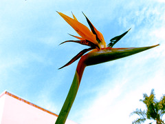 the cross-processed bird of paradise (emdot) Tags: crossprocessed birdofparadise calpoly strelitzia utatathursdaywalk