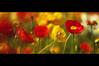 amapolas (Nachosan) Tags: flowers japan spring searchthebest bokeh kagoshima poppy nachosan papaveraceae amapolas bokehsoniceaugust bokehsoniceaugust11