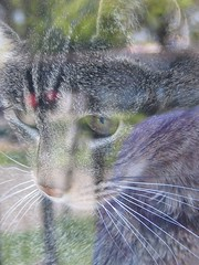 Tiger on the porch, looking out the window (litlnemo) Tags: cats reflection tabby tiger manx catsandwindows cc500