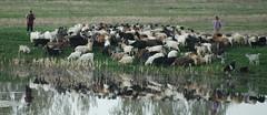 Osica (anomis) Tags: nature animals landscape romania olt