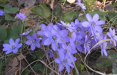 Wild flowers ~ Blue anemones/Blue sipps, Hepatica Nobilis in latin. (Per Ola Wiberg ~ Powi) Tags: nature beautiful ilovenature spring niceshot sweden gorgeous 2006 harmony april springflowers flowerbox northstar naturescenes aclass hepaticanobilis blsippor hiddentreasure floralfantasy mostintresting eker blueanemone wrangels flickrstars blsippa theworldinmyeyes languageofflowers naturesgallery diamondheart flickrhearts flickraward flickrbronzeaward heartawards ultimategold diamondstars flowerwatcher ~vivid~ exemplaryshotsflickrsbest justlovelyphotos natureiswonderful floraandfaunaoftheworld natureislife natureislovely goldstaraward flickrestrellas thebestshot funfanphotos wonderfulworldofflowers beautifulshot awesomeblossoms naturestreasures addictedtonature unforgettableflowers holycreationsofnature flowersonflickr addictedtoflower passionoftheheart livinglifebehindthelens flowersandbeyond fabulousplanet beautifulfloras flickrsgottalent superjobs~~expocenter fotografaynaturaleza thenaturessoul floresfioretuttifiori seniasflowersgroup flowers4you