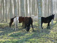 Wild Horses (cctrilla) Tags: horses horse nature animals forest caballos lumix bosque 100club chopos populus 50club cctrilla
