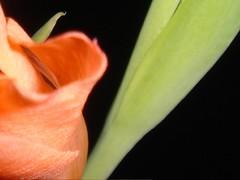 Night in the garden (marlenells) Tags: black macro topc25 topv111 closeup night 510fav bud quintaflower gladiola gladiolus maringá scoreme46 masterphotos