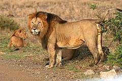 My Territory !! (Picture Taker 2) Tags: africa nature animal animals wildlife lion pride wilderness plains predator mammals bigcats wildanimals africaanimals masimarakenya sunkissedwildanimals