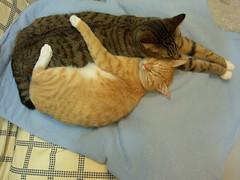 sofa or bed? (jacky elin) Tags: cats cat mix sweet tabby 2006 lin jacky 貓