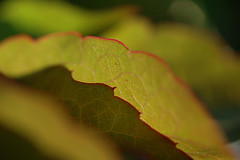 (Mark Rutter) Tags: detail leaves backlight spiky leaf all close edge layer translucent layers vein veins backlit top10 delicate f5 i20 naturesfinest i120 markrutter