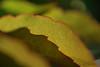 (Mark Rutter) Tags: detail leaves backlight spiky leaf all close edge layer translucent layers vein veins backlit top10 delicate f5 i20 naturesfinest i120 markrutter