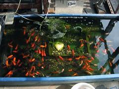 Kingyo (cbsca) Tags: red fish japan japanese kingyo 魚 金魚 sakana 赤 店 キンギョ cbsca