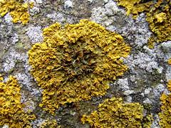 Dooiermos xanthoria wontolla65 tags lichens basalt holand