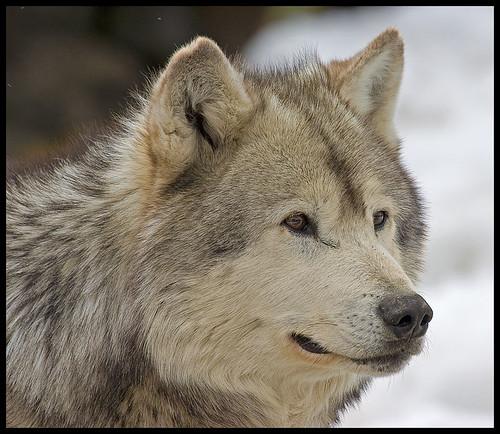 Wolf (1105a) by Geyser Gary.