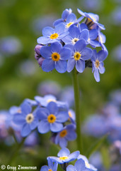 Forget-Me-Not (Gregg Zimmerman) Tags: blue plant flower macro garden small olympus tiny forgetmenot e300 epv0360