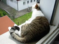 Fusillo sul davanzale (*DaniGanz*) Tags: white cute window cat kitten tabby kitty windowsill gatto bianco micio cutecatphotos fusillo catsandwindows biancoetigrato tigrato daniganz