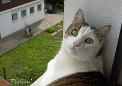 Fusillo sul davanzale occhi verdi (*DaniGanz*) Tags: white cute window cat kitten tabby tiger kitty greeneyes ledge windowsill gatto bianco micio occhiverdi cutecatphotos davanzale fusillo catsandwindows biancoetigrato tigrato daniganz abigfave camfnov octeyes