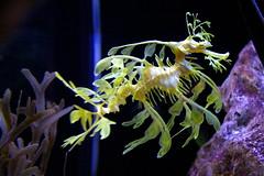 Sea Dragon (jetrotz) Tags: animal aquarium seahorse screensaver ✔