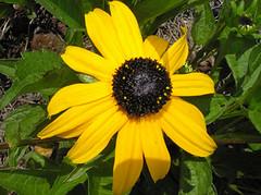 Black-eyed Susan (U-EET) Tags: flower rudbeckia blackeyedsusan