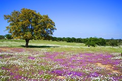 Primavera (pericoterrades) Tags: espaa naturaleza flores andaluca huelva dehesa encinas sierradehuelva aroche appenninosettentrionalealpinatura