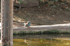 Blue Waxbill / Blue-breasted Cordonbleu (MBoy68) Tags: africa blue bird birds southafrica southern cordonbleu waxbill bluewaxbill uraeginthusangolensis bluebreastedcordonbleu angolensis bluebreasted uraeginthus