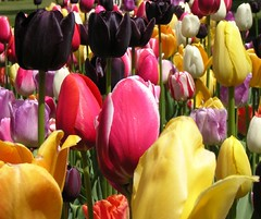 Holland, Michigan (snapstill studio) Tags: flower holland michigan tulip martinmcreynolds