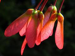 Red Maple Fruit (Samara) (roddh) Tags: red macro topv111 fruit canon interestingness maple topv333 quality seeds winged samara pro1 acerrubrum roddh