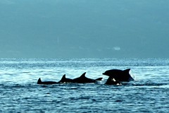 dance of the dolphins (Farl) Tags: ocean travel blue sea water colors wonder fun play frolic philippines adventure dolphins cebu waters bais whalewatching negros tanon cebusugbo dolphinwatching baisbay tanonstrait manjuyod