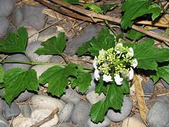 May 10, 2006: Nature Around My House (Matt McGee) Tags: plant flower green nature bush rocks m2 1365 flickrday may102006