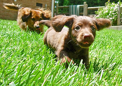 Who let the dogs out??? (Doxieone) Tags: dog brown topf25 grass heidi interestingness long teddy chocolate 2006 dachshund explore 101 v top20dogpix final 200 100views exploreinterestingness 300views 200views 100 300 haired 10000 mostpopular ggg my25 1002 longhaired ourdogs onexplore 15faves final2 30faves 5faves topfavorite 10faves 20faves explored interestingness2006 25faves 91748818 102150916 doxieone101 coolestphotographers favororiteofmine teddyset 778881043008 93666252108 998468053108 112806971008 14089917 ddate