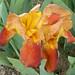 'Lois J.' Iris - KSU Gardens - 2006