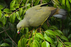 What I saw from my bedroom's veranda… (bocavermelha-l.b.) Tags: mountfaber 500mmf4dii tc20eii insingapore foundinmountfaber south–china–sea pinkneckedpigeon treronvernans z5oo pinkneckedgreenpigeon nikonstunninggallery pomboselvagem femalefêmea shootingwithd200