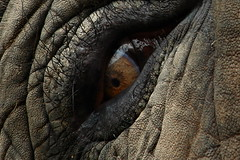 the EYE in the rock ( mewot ) Tags: elephant animal dinosaur quality lookatme prehistoric et beautifuleyes supreme eyecatcher freakedout godzila howclose softexpression somethingoutofafairytale oldindianman hissoul ithoughtmyeyeswerebloodshot havenewpet textureofleather idontlikebeingstaredatbyabigolhunkineyethisearlyinthemorning theotherendoftheelephant gentlespiritofthesehugebeast souloftheelephant ifeelsomebodywatchingme studytheeyeball