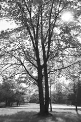 Sun through branches, Fleming College, Peterborough, Ontario (Computer Science Geek) Tags: trees blackandwhite bw ontario photoshop ir branches urbannature peterborough digitalinfrared digitalir flemingcollege fauxinfrared nikonstunninggallery utatathursdaywalk05